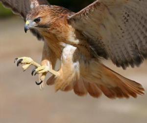 Rompicapo di Falco