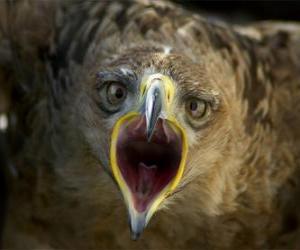 Rompicapo di Falcon con la bocca aperta