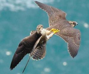 Rompicapo di Falcons lotta