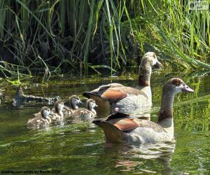 Rompicapo di Famiglia delle oche del Nilo