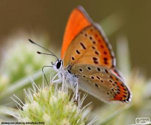 Rompicapo di Farfalla arancione