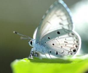 Rompicapo di Farfalla bianca