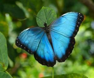 Rompicapo di Farfalla blu