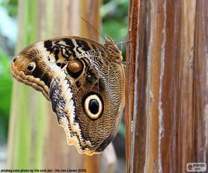 Rompicapo di Farfalla del gufo