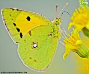 Rompicapo di Farfalla lime