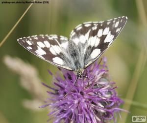 Rompicapo di Farfalla Melanargia galathea