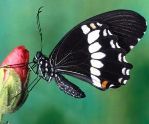 Rompicapo di Farfalla nera