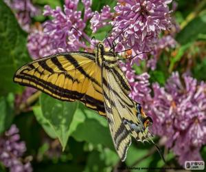 Rompicapo di Farfalla tigre del Canada