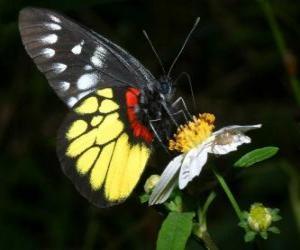 Rompicapo di Farfalla