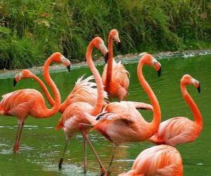 Rompicapo di Fenicotteri nell'acqua, grandi uccelli acquatici con piumaggio rosa