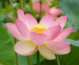Rompicapo di Fior di loto asiatico