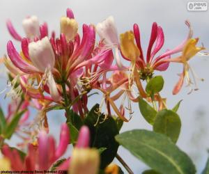 Rompicapo di Fiore del caprifoglio