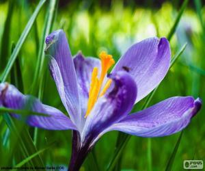 Rompicapo di Fiore dello zafferano