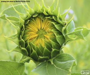 Rompicapo di Fiore di apertura al sole