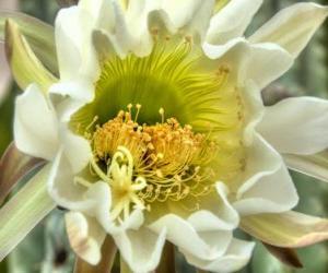 Rompicapo di Fiore di cactus