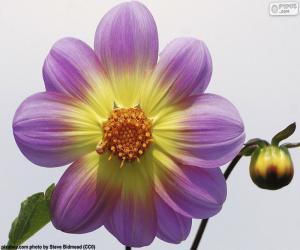 Rompicapo di Fiore di Dalia