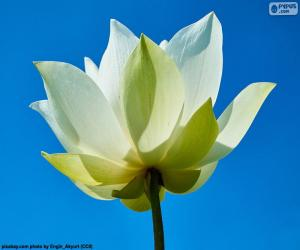 Rompicapo di Fiore di loto bianca