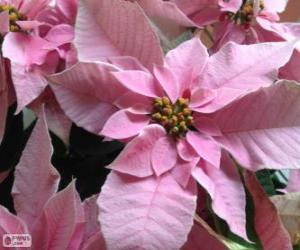 Rompicapo di Fiore di Natale, rosa
