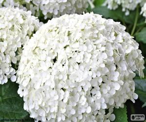 Rompicapo di Fiori bianchi di Ortensia