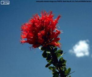 Rompicapo di Fiori rosso di Ocotillo