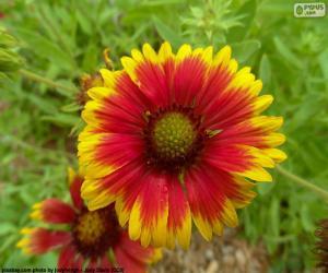 Rompicapo di Flor Gaillardia pulchella