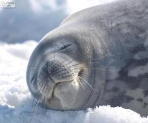 Rompicapo di Foca di Weddell