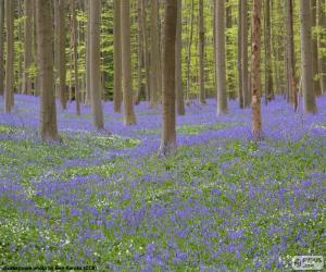Rompicapo di Foresta Hallerbos, Belgio