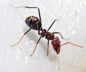 Rompicapo di Formica, un insetto che esiste praticamente in tutto il mondo