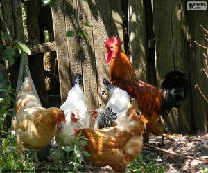 Rompicapo di Gallo e galline