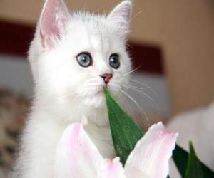Rompicapo di Gatto bianco