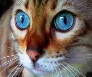 Rompicapo di gatto con gli occhi azzurri