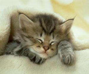 Rompicapo di Gatto di Allevamento, gattino