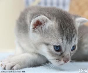 Rompicapo di Gatto grigio degli occhi blu