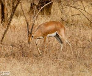 Rompicapo di Gazella bennettii