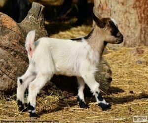 Rompicapo di Giovane capra
