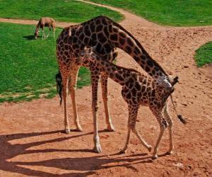 Rompicapo di Giraffa adulto e bambino giraffa