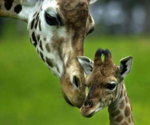 Rompicapo di giraffa con il suo cucciolo