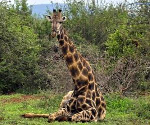 Rompicapo di Giraffa di riposo