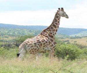 Rompicapo di Giraffe guardando il paesaggio