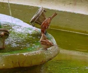 Rompicapo di Gli uccellini spruzzi in una fontana