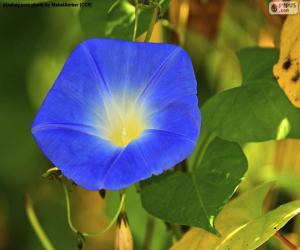 Rompicapo di Gloria di mattina blu