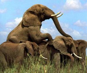 Rompicapo di Gruppo di elefanti, grandi denti