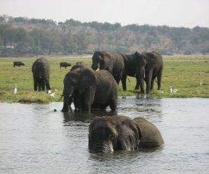 Rompicapo di Gruppo di elefanti in uno stagno nella savana