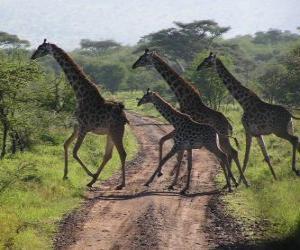 Rompicapo di gruppo di giraffe che attraversano una strada
