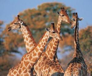 Rompicapo di Gruppo di quattro giraffa
