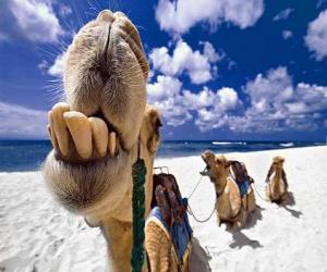 Rompicapo di I cammelli dei Re Magi a riposo nel loro cammino verso Betlemme