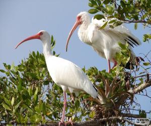 Rompicapo di Ibis bianco