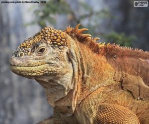 Rompicapo di Iguana terrestre delle Galápagos