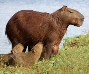Rompicapo di Il capibara è il roditore di maggiori dimensioni attualmente esistent