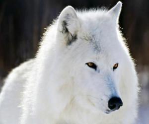 Rompicapo di Il lupo artico